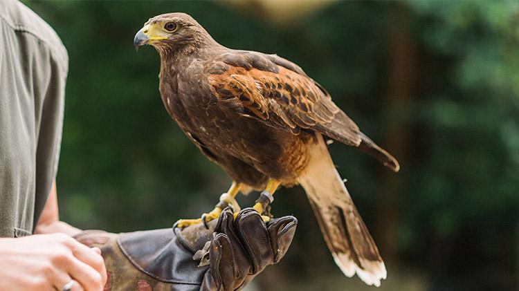 Hawk Walk